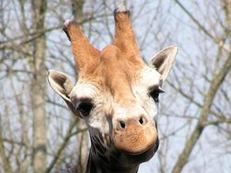 Žirafa s nejhezčím úsměvem a největšíma očima