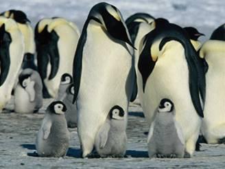 Tučňáky na krách zavede proud do Brazílie rok co rok. Ilustrační foto.