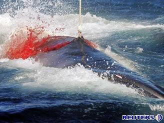 Japonským velrybářům se podařilo kytovce ulovit.