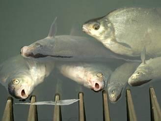Mrtvé ryby u elektrárny na Labi