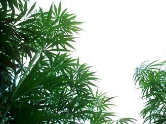 Pěstovat marihuanu je legální, řekl soud