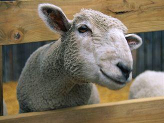 Za smrt ovce hrozí muži roční vězení. Ilustrační foto