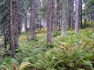 Smrkový prales pod Babí horou