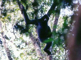 Samec ohroženého hainanského gibona