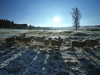 Ovečky na Horské Kvildě