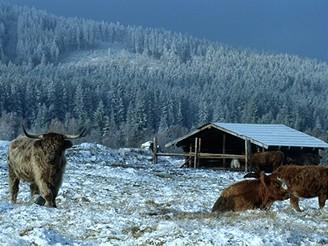Šumava, skotský náhorní skot