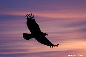 Orel Bělohlavý z cyklu Křídla nad Aljaškou