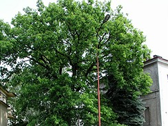 Starý, asi 80 dub v Jičíně v roce 2006