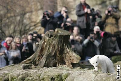 Kliknutím zobrazíte větší formát - Lední medvídek Knut v berlínské zoo