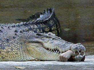 Kolegům zraněného ošetřovatele se nakonec podařilo ruku z krokodýlí tlamy vytáhnout.