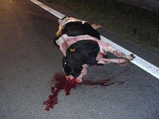 Srážka s kravami na dálnici