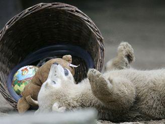 Mládě ledního medvěda Knut slaví půl roku