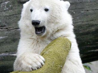 Lední medvídek Knut