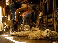 Nový Zéland, na ovčí farmě