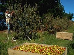 Nový Zéland, sklizeň jablek