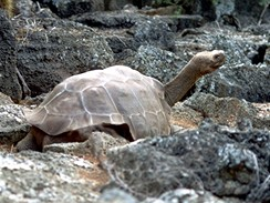 V souostroví Galapágy v Tichém oceánu žijí vzácné obří želvy