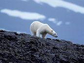 V ohrožení jsou medvědi zejména na Aljašce a v Rusku