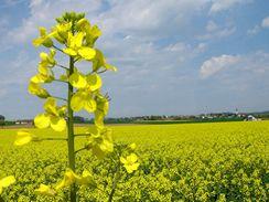 Horší úrodu zemědělci kvůli květnovým mrazům očekávají také u řepky olejné.