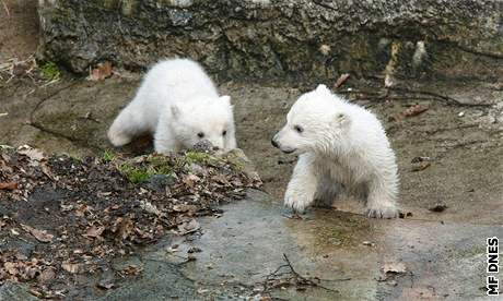 Lední medvíďata v brněnské zoo