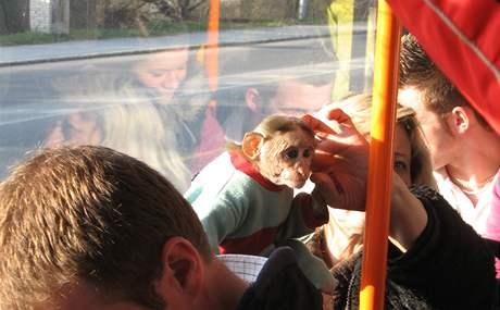 Opička v brněnské tramvaji