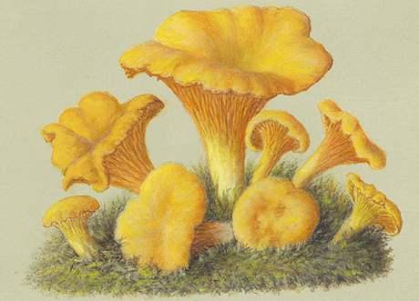 Z Historického atlasu hub (Liška obecná)