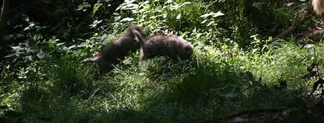 Dvojčata vlka arktického z brněnské zoo