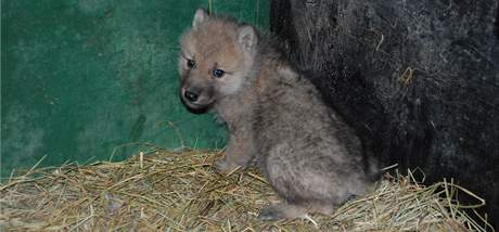 Mládě vlka arktického