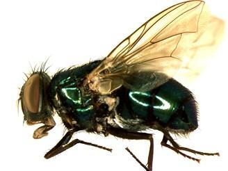 Farma na mrtvoly - vylíhnutá moucha