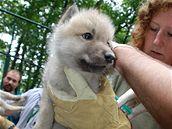 Vlčata vlka arktického z brněnské zoo byla očkována