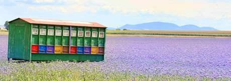Fialové pole a včelín u Syrovic
