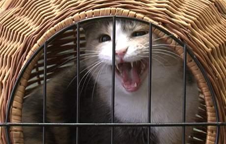 K nejsilnějším zdrojům alergenů patří kočka. Podle odborníků přitom hypoalergenní kočky neexistují.