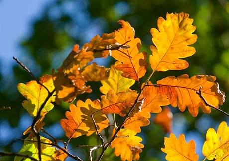 Podzimní dub.