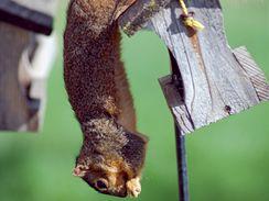 Pokud se směsí v krmítku přiživí veverka, nevadí. Kočka se ale ke krmítku dostat nesmí