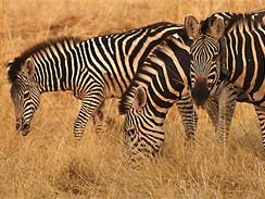 Na safari v botswanském Okavangu