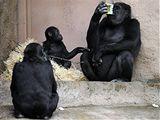 Shinda si v pražské zoo pochutnává na výhře, kterou dostala za to, že se jí podařilo zhubnout víc než jejímu ošetřovateli