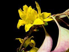 Květy zlatice – forzýtie – vykvetou ochotně a poslouží vám místo zlatých vánočních ozdob