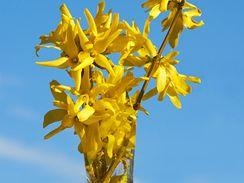 Oslavte slunovrat s barborkou  ze zlatice, běžně pěstovaného a dostupného keře – slunce vám přinese přímo domů