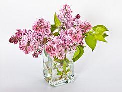 Nechejte vykvést opojně vonící šeřík. Zprvu chybějící listy lze doplnit i náhradní zelení