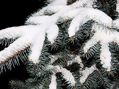 Varieta stříbrného smrku je krásná pod pokrývkou sněhu i ověšená vánočními ozdobami