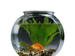 Ryba v kulatém akváriu