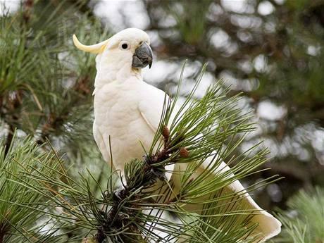 Papouška kakadu potkáme nejčastěji v lese.