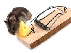 Myši mají rády nejen sýr, ale i chléb s paštikou či ořechy