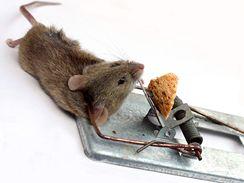 Na mrtvou myš nesahejte holou rukou, její srst může být plná cizopasníků
