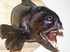 Vlkouš patří mezi dravé tvrdoploutevní ryby