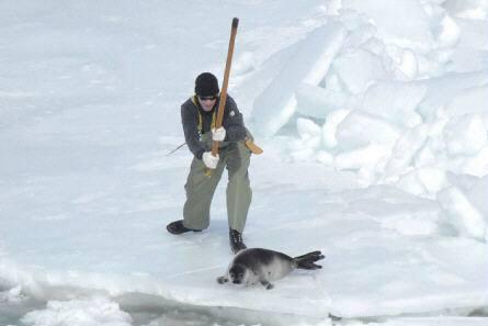 V Kanadě každým rokem zemře ročně na tři sta tisíc převážně tuleních mláďat. Ochránci zvířat lovce obviňují z brutality.