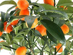 Miniaturní pomeranče