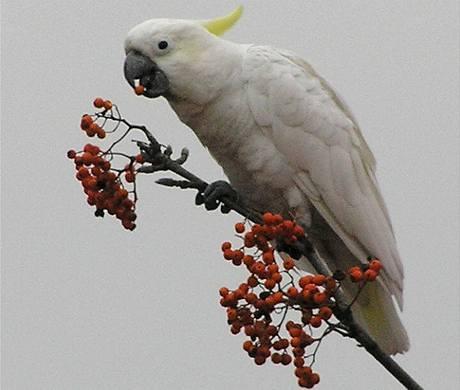 Papouškovi kakadu z Prahy 6, který uletěl svému majiteli, zabil mráz jeho kamaráda
