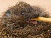 Krmit ježky může být někdy velmi těžké.