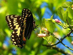 V přírodě citrusy opylují motýli a další hmyz, který při pití nektaru shodí pyl na bliznu květu. V bytových podmínkách je nahradí opylení štětečkem.