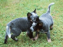 Modrá štěňata australského honáckého psa.